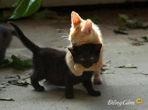 Mèo đen mèo vàng